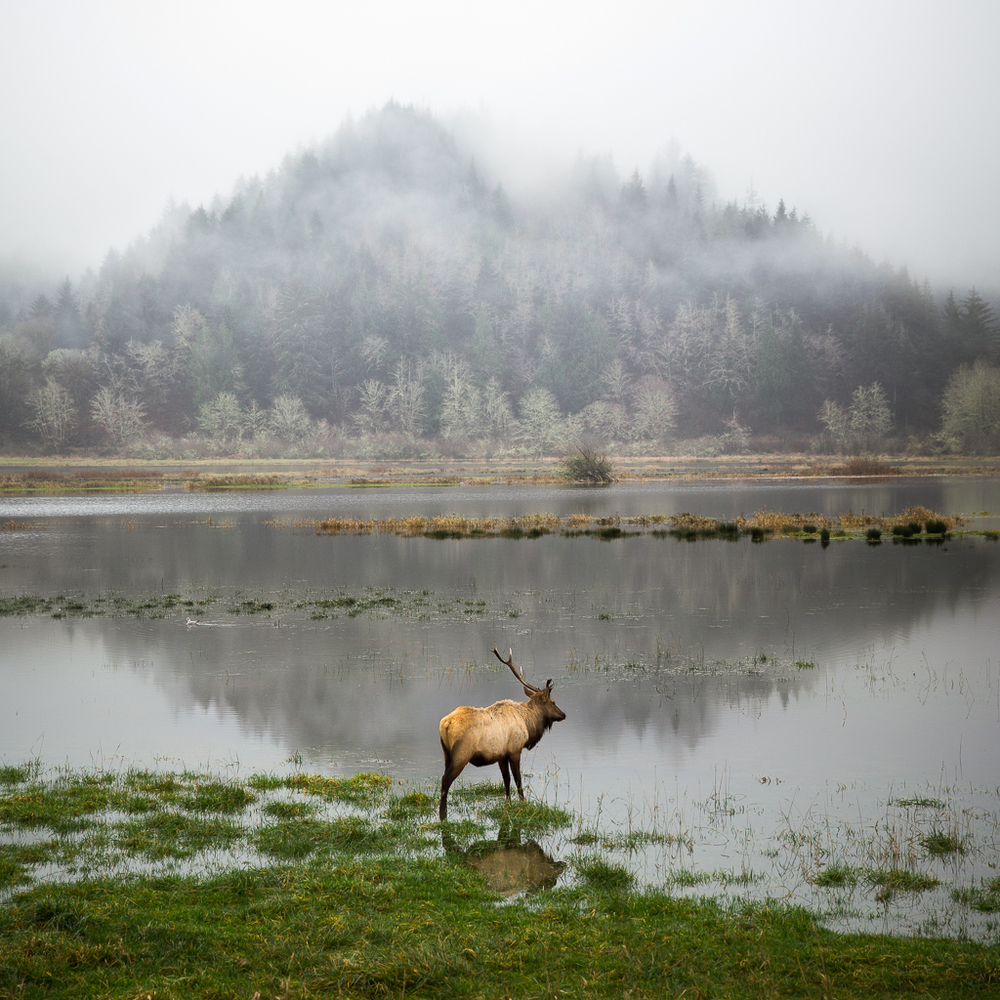 Elk on a lake, California