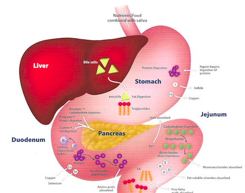 digestion absorption Digestion, absorption, fermentation, and metabolism of functional sugar  substitutes and their available energy tsuneyuki oku ‡ and sadako nakamura.