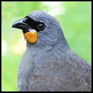 "NI kōkako photograph by Tara Swan, ""photoshopped"" with permission by Oscar Thomas"