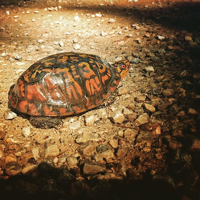 🐢 crossing in the Red! #redrivergorge #outsideisfree #getoutstayout #turtlegram