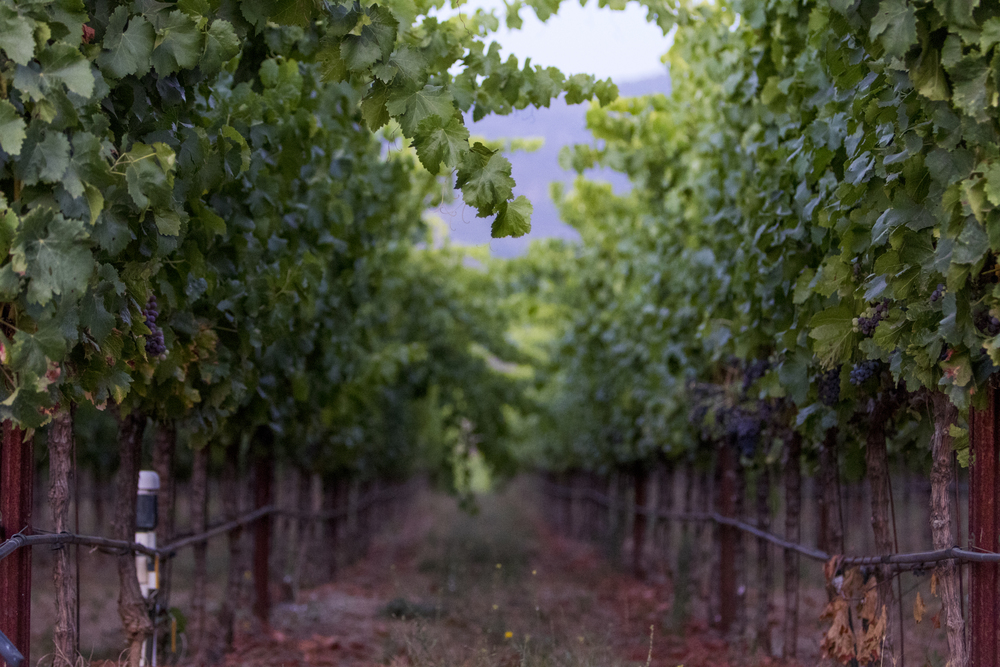 Syrah block at Stagecoach Vineyard.  Photo courtesy of Suzanne Becker Bronk Photography