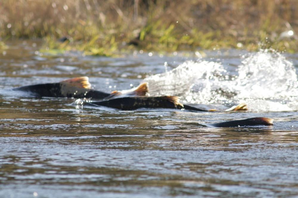 Salmon on Mokelumne