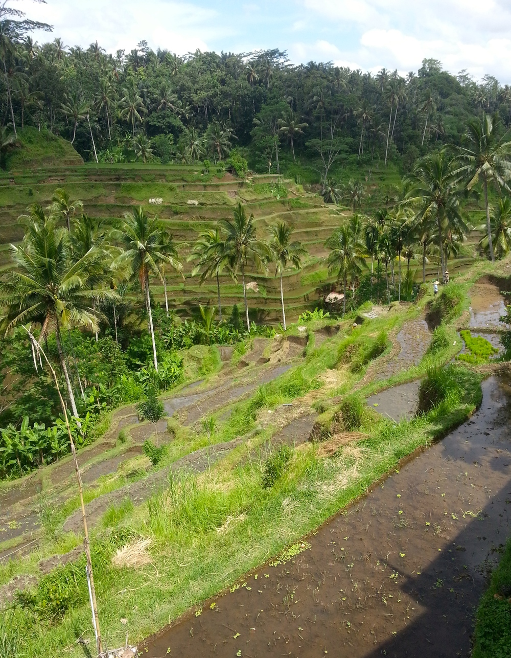 Beautiufl rice terraces