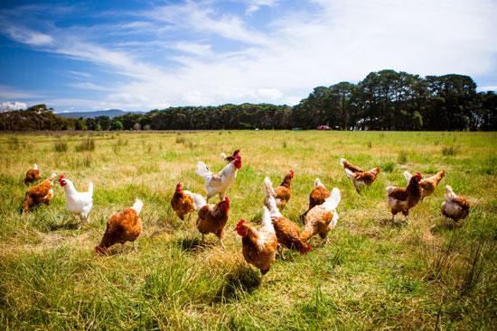 Chickens jpg.jpg