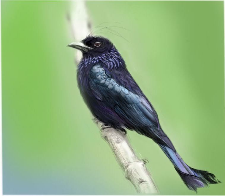 haircrested drongo3.jpg