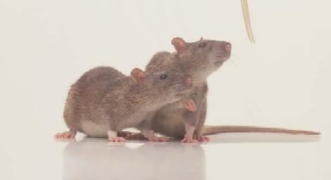rats1.JPG