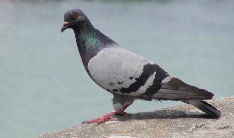 pigeonferal.jpg
