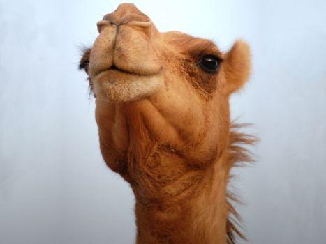 camel-face.jpg