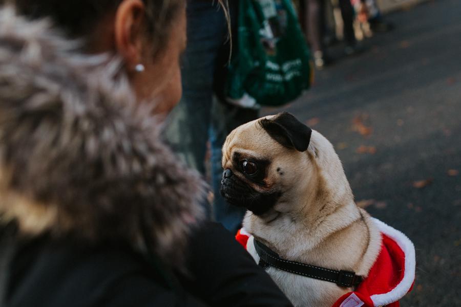 christmas_pug_meeting_liviafigueiredo.com_11.jpg