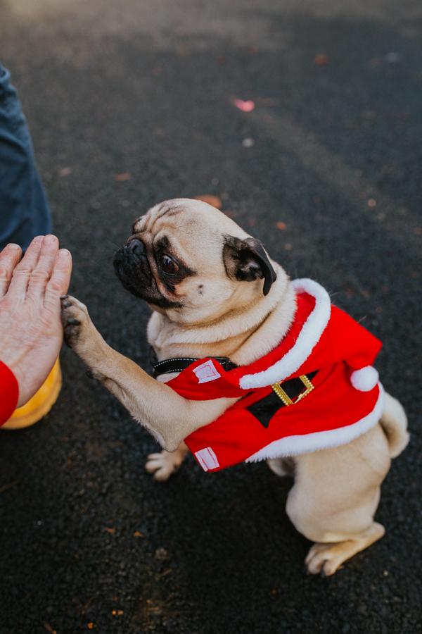 christmas_pug_meeting_liviafigueiredo.com_14.jpg