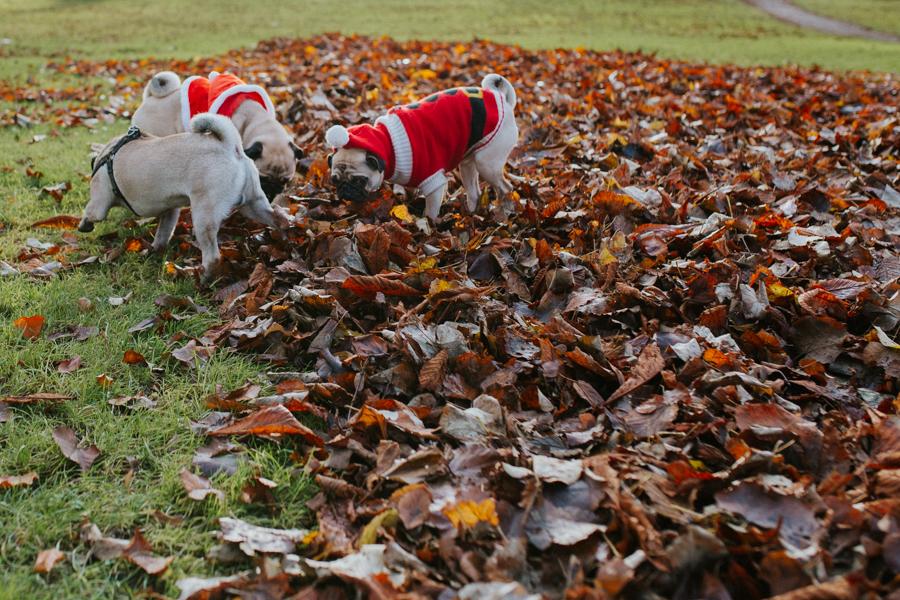 christmas_pug_meeting_liviafigueiredo.com_28.jpg