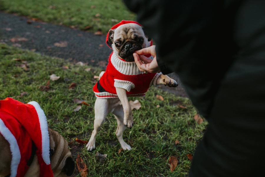 christmas_pug_meeting_liviafigueiredo.com_31.jpg
