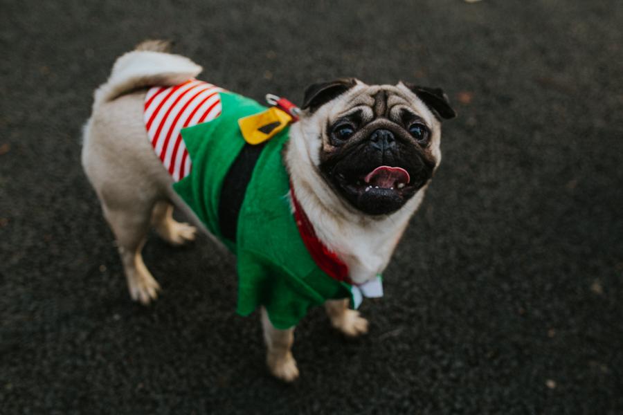 christmas_pug_meeting_liviafigueiredo.com_53.jpg