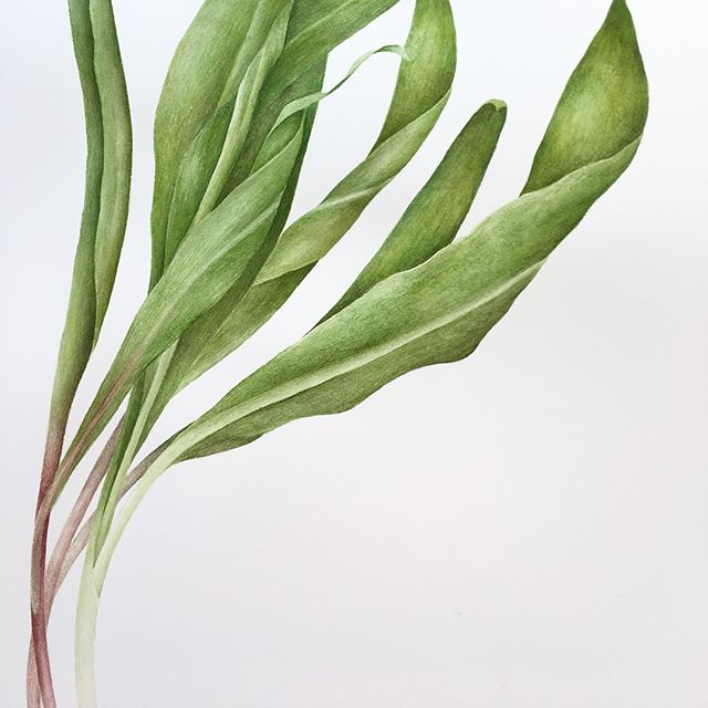 Freshly picked ramps 🌱🌱🌱 Second watercolor painting to date and feeling pretty stoked about working in this new medium . . . . . . #happyspring #rampseason #rampage #ramps #upstatelivin #botanicaldrawing #botanicalillustration #botanical #botanicalpainting #bronxbotanicalgarden #watercolor #watercolour #watercolorpainting #theydrawandcook #vegetables #seasonalfood