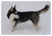 Husky in the snow.jpg