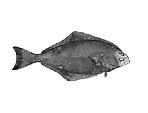 Halibut-Smithsonian.jpg