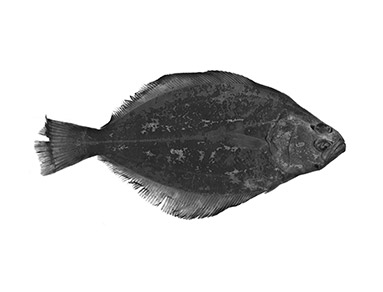 Petrale-Sole-Smithsonian.jpg