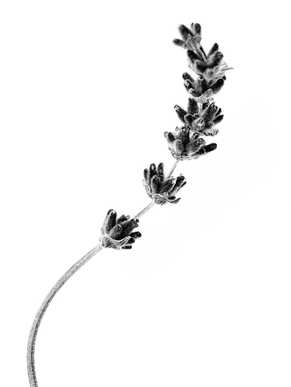 lavendel 01.jpg