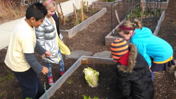 Tyler students harvest cabbage from the school garden.