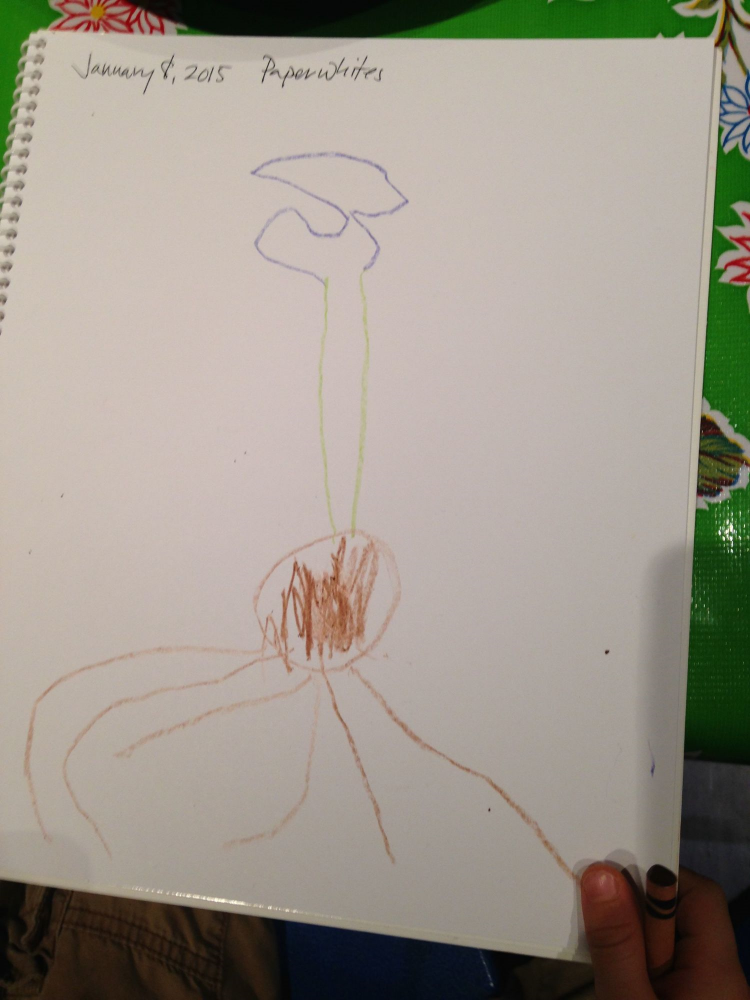Observational drawing of a paperwhite by a Pre-K 4 student at Peabody.