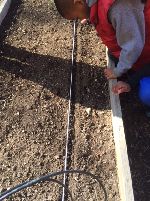 Using a rope marked with dots every inch, a student methodically plants seeds.