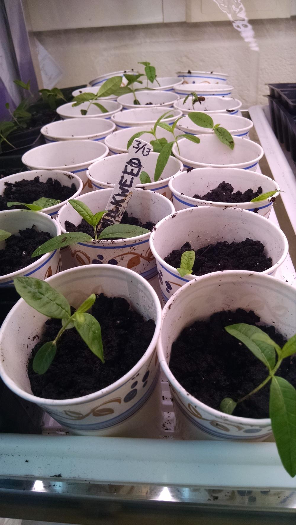 More transplanting...