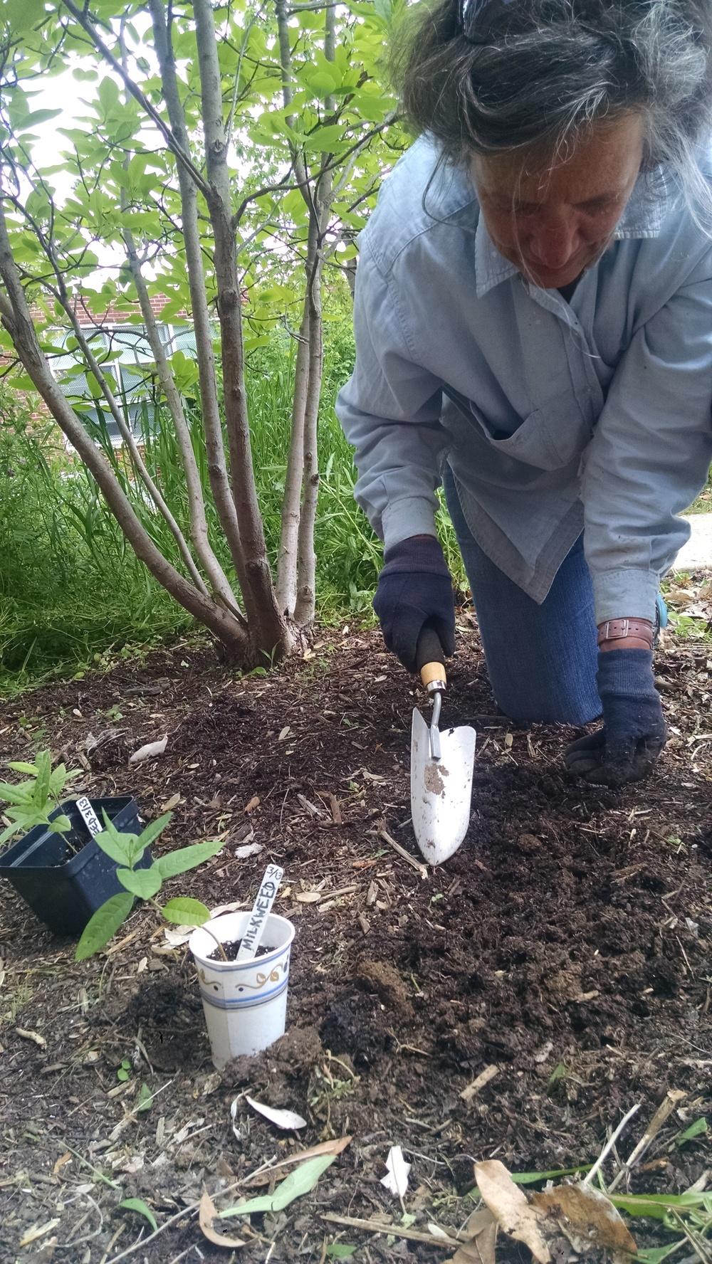 A parent super-volunteer transplants milkweed into the outdoor classroom at Tyler.