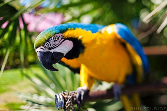 I met this dude a few years ago while in Tobago. • • • • • #Parrot #Macaw #Travel #Explore #Adventure #Nature #Tropics #Tobago #Beach #PalmTrees #TravelPhotography #Landscape #NaturePhotography #Canon