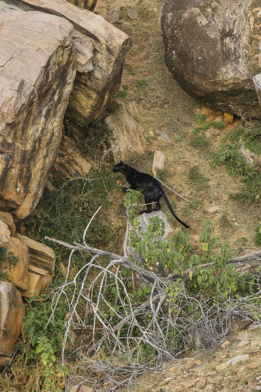 Neptune-BlackLeopard-Kenya-_32_4297.jpg