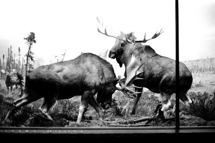 alaska moose,museum of natural history. new york city. #kodak #t-max #400