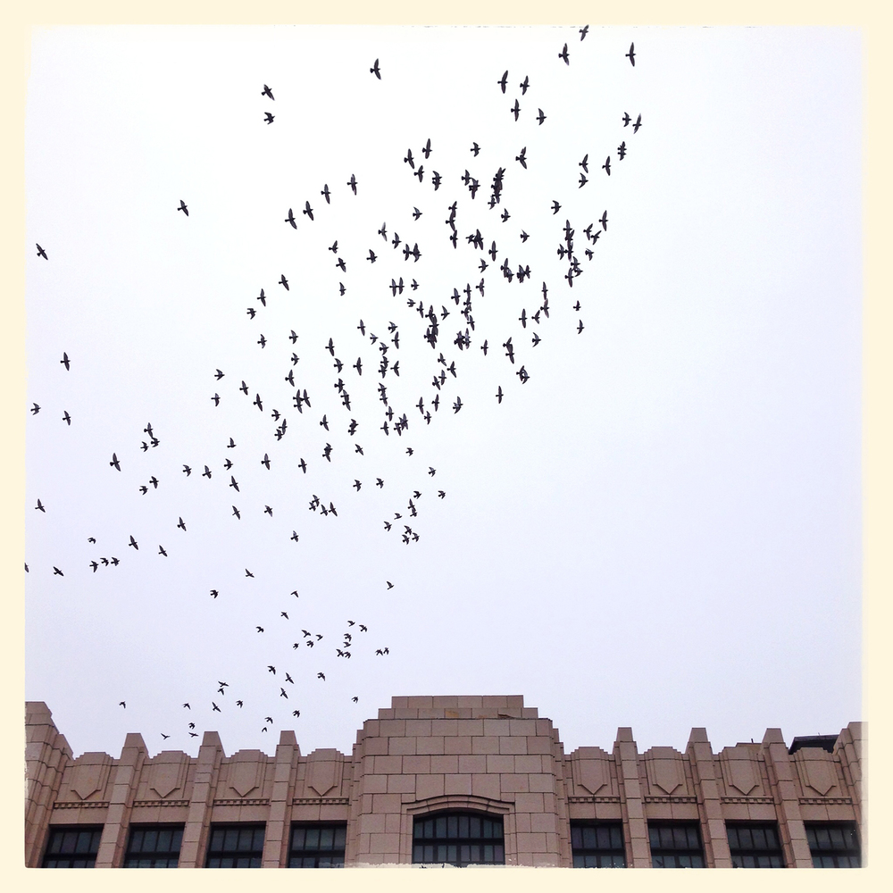 Birds over the old Illinois State Journal building on Sixth Street, like a school of fish in the air.