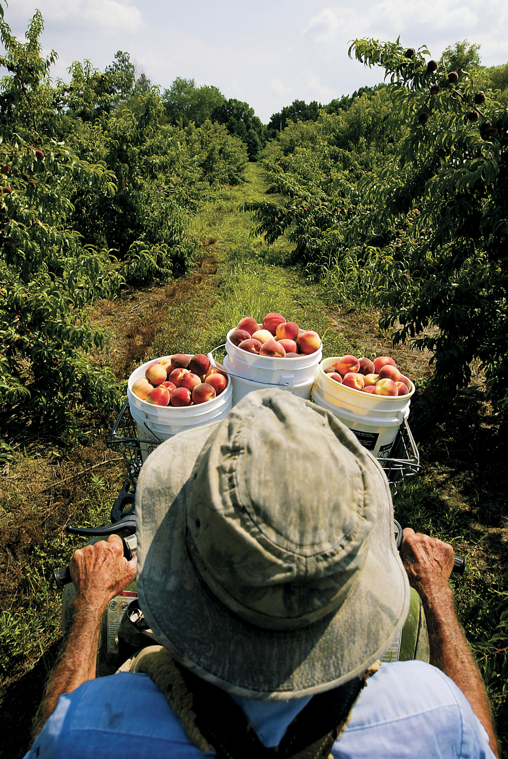 Albert Jefferies, 80, owner of Jefferies Orchard, rides through his orchard and brings fresh-picked peaches home to sell. The Jeffries family have owned the orchard since 1822. Michael Brown/The State Journal-Register