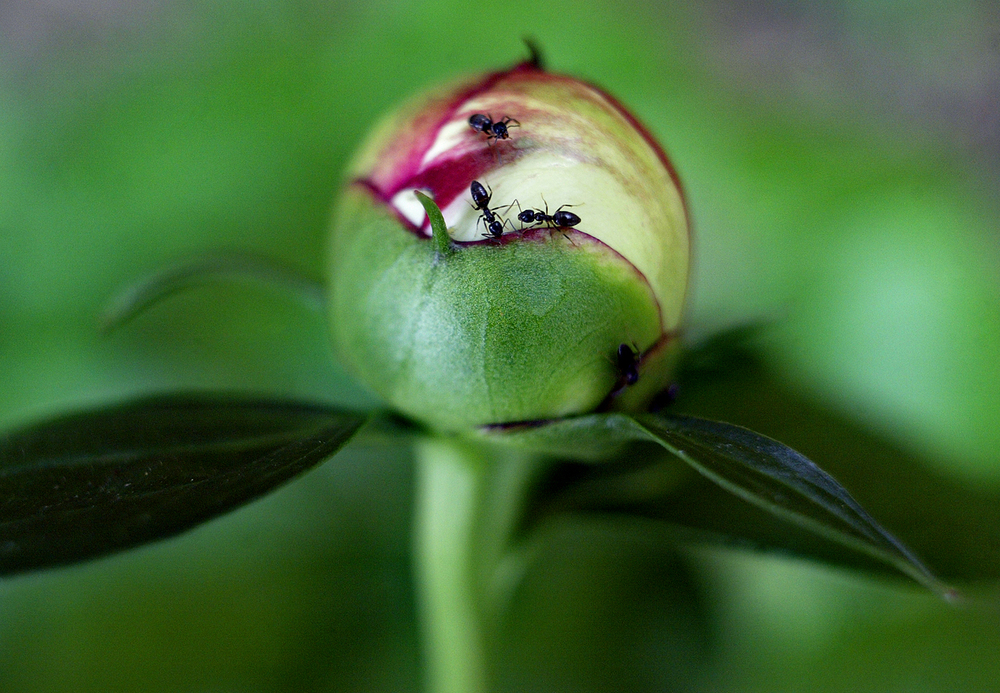 Attracted by its sweet liquid, ants scurry about a budding peony. Jonathan Kirshner/The State Journal-Register