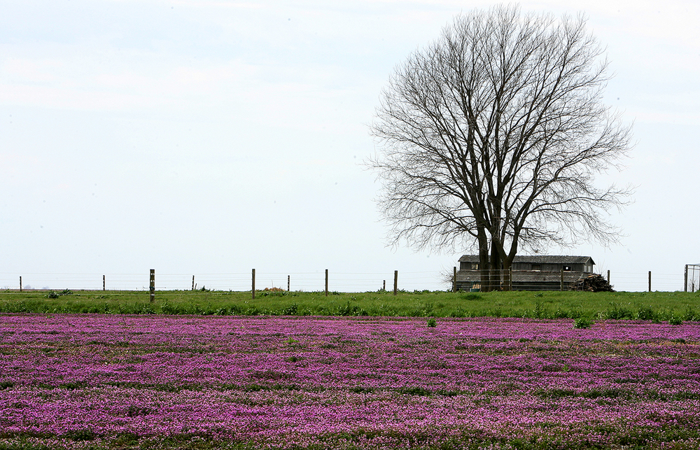 Colors of spring are abundant when blooming purple henbit covers a field along Illinois 97 west of Springfield. T.J. Salsman/The State Journal-Register