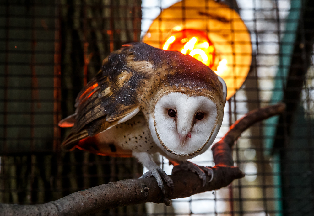 Barney, the zoo's barn owl, stays warm next to a heat lamp on his perch inside the enclosure at the Henson Robinson Zoo, Thursday, Nov. 13, 2014, in Springfield, Ill. Barn Owl's survive in the wild just fine through the winter, Barney just chooses to take advantage of his heat lamp. Justin L. Fowler/The State Journal-Register