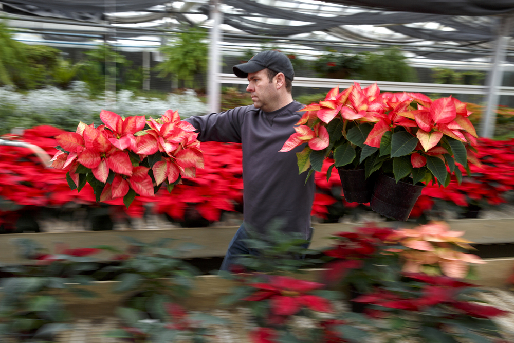 Chad Scaife carries poinsettias from the greenhouse at the Washington Park botanical garden to the exhibit hall where the annual Christmas floral display is being assembled Tuesday, Dec. 2, 2014. Over 700 of the colorful plants will be used. The display opens Saturday and will be open weekends noon - 4 p.m. and Monday - Friday noon - 5 p.m. through December 21. Rich Saal/The State Journal-Register
