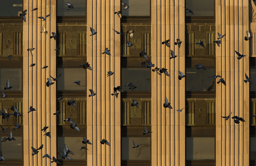 Pigeons make a pass in front of the Ameren building Dec. 1, 2014. What is actually an evasive measure to protect them from predators, the synchronized patterns of their flight can be mesmerizing to watch. Rich Saal/The State Journal-Register