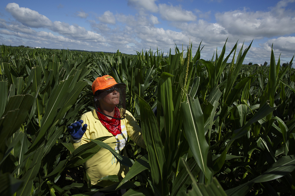 Being hot, sticky and subject to cuts from the sharp edges on leaves is part of the job for corn detasselers like Hope Davis of Middletown, who worked in a Mason County field July 16, 2014. Rich Saal/The State Journal-Register