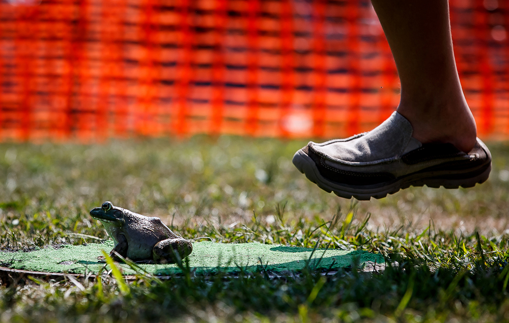 A stomp from behind was the most used technique to try and get the frogs to start their jump from a small pad in the Morrisonville Frog Jump during the community's annual Picnic and Homecoming, Thursday, July 31, 2014, in Morrisonville, Ill. Justin L. Fowler/The State Journal-Register