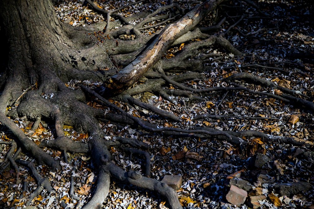 The roots of a tree exposed around a dry creek bed near the Sangamon River along the hike during the Sangamon Valley Group of the Sierra Club's Stone Soup Hike at Carpenter Park, Thursday, Jan. 1, 2015, in Springfield, Ill. Justin L. Fowler/The State Journal-Register