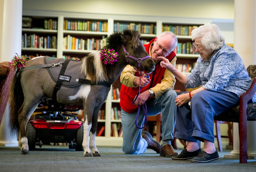 """Bailey, a certified American miniature therapy horse, visits with Marjorie Krone with the help of owner Bill Ebert during Heartland Mini Hoofs horse therapy at the Knollwood Retirement Village, Thursday, Jan. 29, 2015, in Jacksonville, Ill. """"I liked to see them. I was raised on a farm and I had a pony that I raised from birth,"""" said Krone about the miniature horses visit. Justin L. Fowler/The State Journal-Register"""