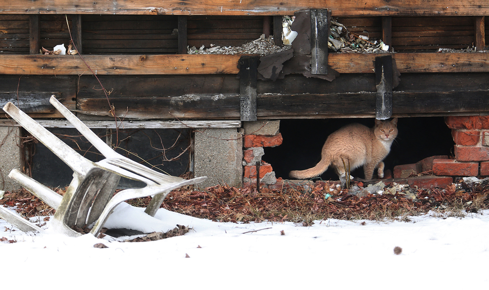 A cat's refuge from the snow and cold of Springfield's Winter is the crawlspace of an abandoned home located at Garfield St. and the 1900 block of N. 9th St. seen here on Tuesday morning, March 3, 2015. A small amount of freezing rain fell overnight in Springfield, with less than a tenth of an inch of freezing rain reported at Capital Airport. It was enough to cancel school for a few Sangamon County districts — including the Springfield School District. David Spencer/The State Journal Register