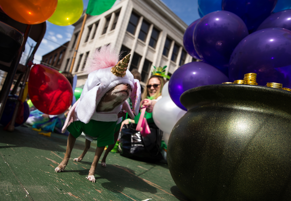 Olive looks after the pot of gold while riding on the St. Andrews Society of Central Illinois' float during the 2015 Saint Patrick's Day Parade, Saturday, March 14, 2015, in Springfield, Ill. Justin L. Fowler/The State Journal-Register