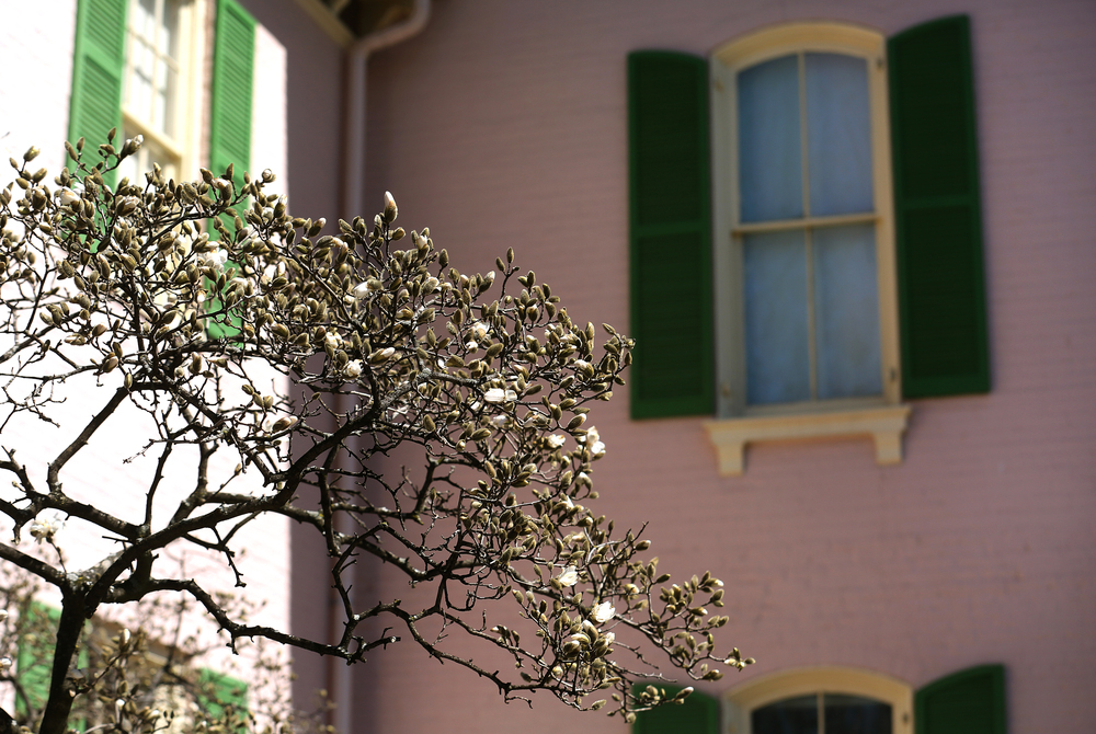Along with a Magnolia tree blossoming outside Edwards Place, a new season is now beginning as well for the historic Springfield home. David Spencer/The State Journal-Register