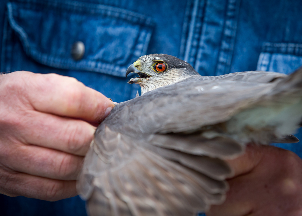 A sharp-shinned hawk eyes the hand of Vern Kleen, as he prepares it for a banding at Lincoln Land Community College's Bird Banding Station, Friday, April 24, 2015, in Springfield, Ill. Kleen states that you don't need to worry about the beak of the bird, rather the claws it uses to capture prey are more dangerous. Justin L. Fowler/The State Journal-Register