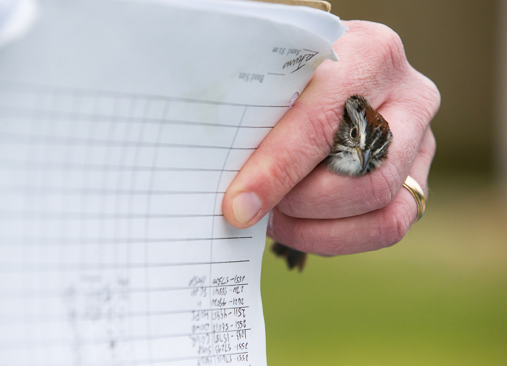 Tony Rothering, a biology professor at Lincoln Land Community College, holds a swamp sparrow in his hand as they document the band number at the LLCC Bird Banding Station, Friday, April 24, 2015, in Springfield, Ill. The small aluminum bands attached to the birds leg have an unique identifier that is entered in a database that allows researchers to collect data on various topics such as migration and population growth. Justin L. Fowler/The State Journal-Register