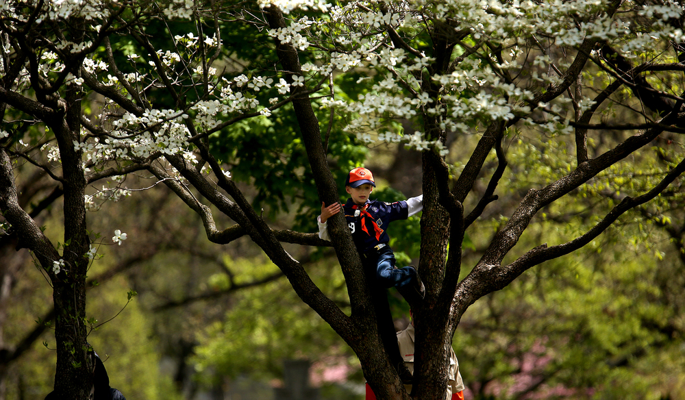 Before the start of the event, a cub scout climbs a dogwood tree outside the Lincoln Tomb. David Spencer/The State Journal-Register