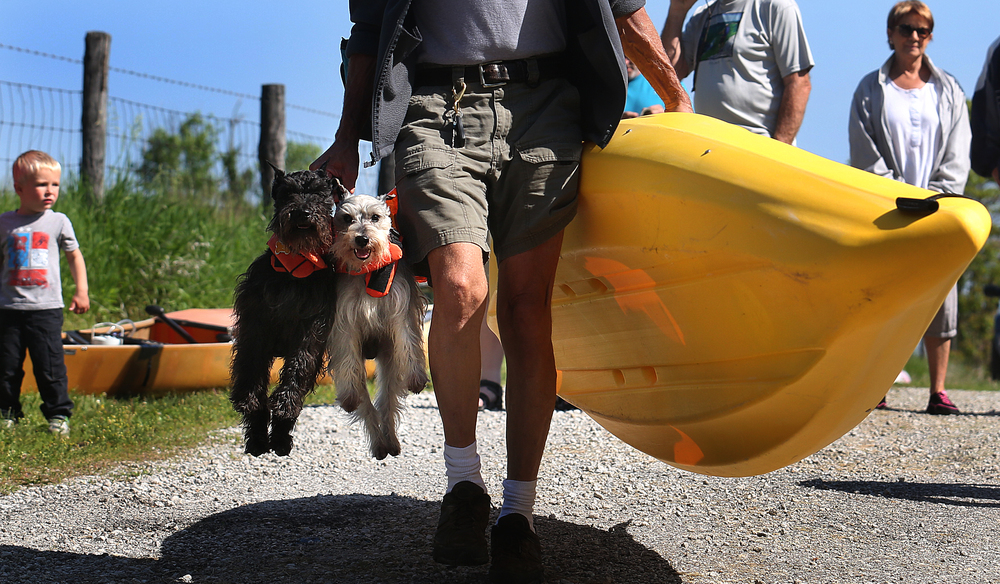 Kayaker Brad Nelson uses a harness to transport his traveling companions for the race to the start line Saturday morning: his dogs Coalberry at left and Smokey Joe. David Spencer/The State Journal-Register