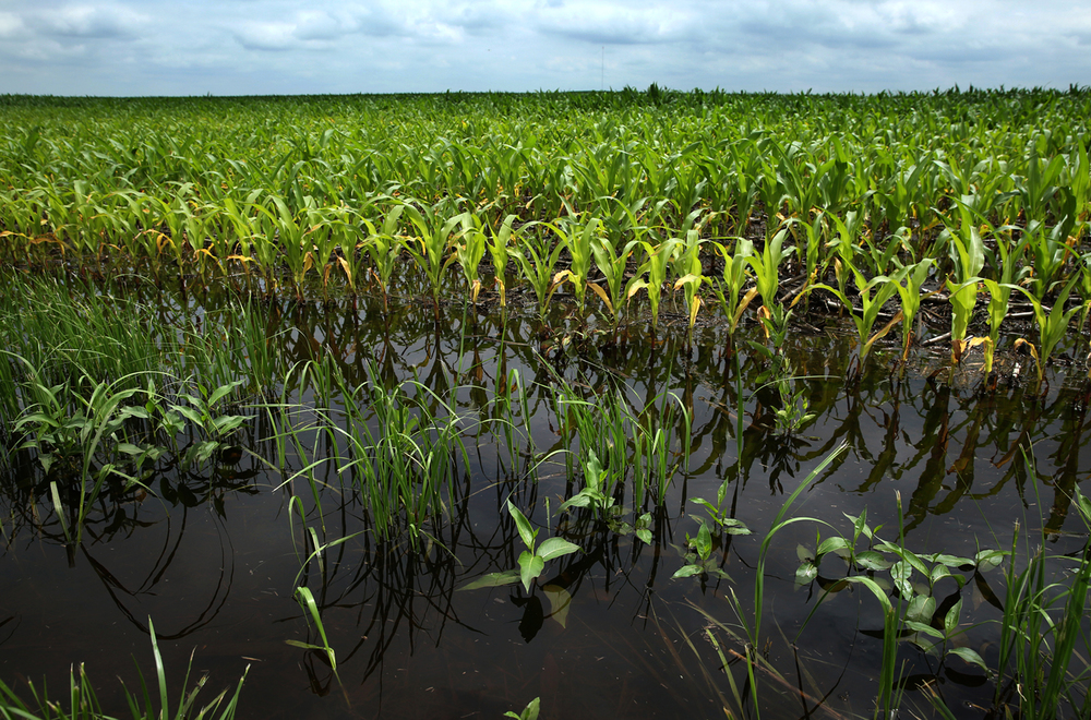 Corn is submerged off 200th Ave. west of Elkhart on Tuesday, June 16, 2015. Recent heavy rains, with more expected in the coming days, have left standing water in Central Illinois fields. David Spencer/The State Journal-Register