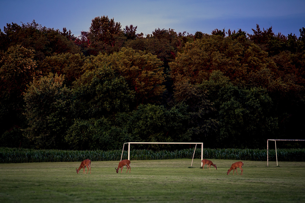 The sun sets over the tops of trees a young buck and a group of does graze on the soccer fields at the University of Illinois Springfield, Tuesday, June 23, 2015, in Springfield, Ill. Justin L. Fowler/The State Journal-Register